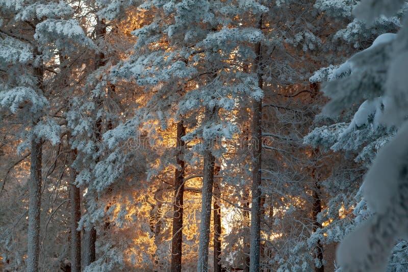 Δάσος πεύκων το χειμερινό βράδυ στοκ φωτογραφίες