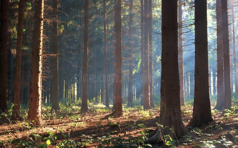 Δάσος πεύκων φθινοπώρου με την ηλιοφάνεια στο βουνό Bakony, Ουγγαρία στοκ εικόνες