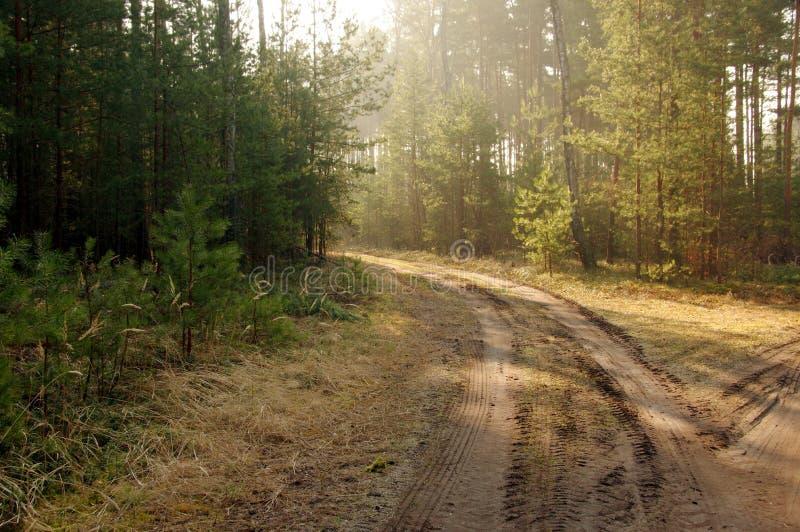 Δάσος πεύκων. στοκ εικόνα