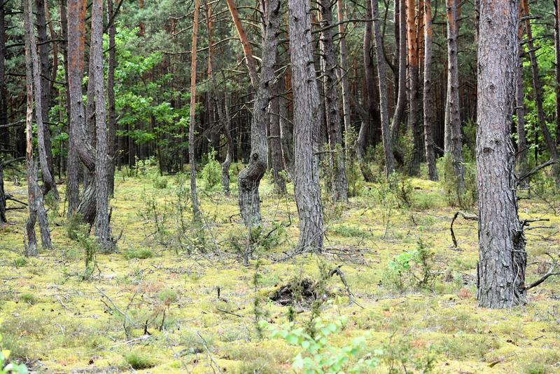 Δάσος πεύκων στοκ εικόνα με δικαίωμα ελεύθερης χρήσης