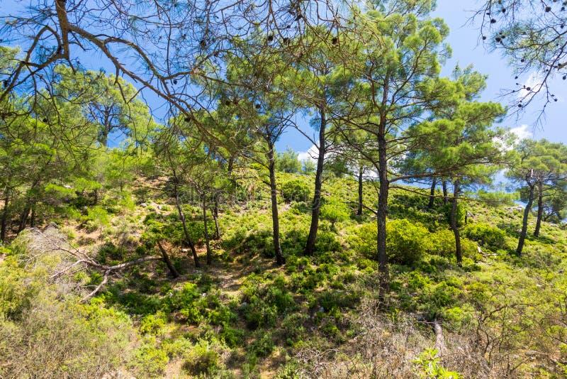 Δάσος πεύκων mountainside στοκ φωτογραφία με δικαίωμα ελεύθερης χρήσης