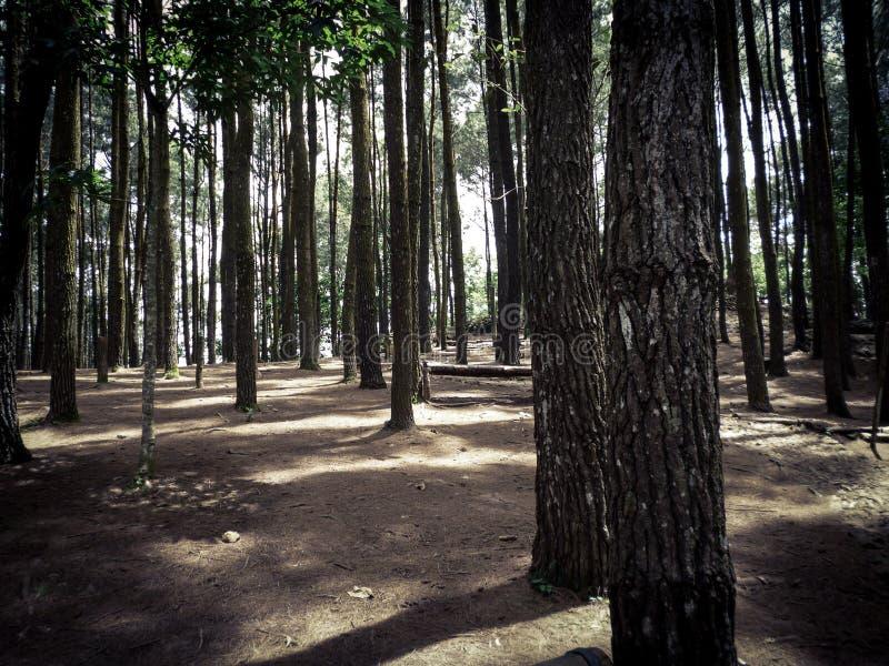 Δάσος πεύκων, Yogyakarta, Ινδονησία στοκ φωτογραφία με δικαίωμα ελεύθερης χρήσης