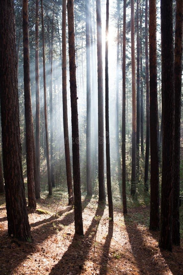 Δάσος σε μια ομίχλη οι ακτίνες του ήλιου στοκ φωτογραφίες με δικαίωμα ελεύθερης χρήσης
