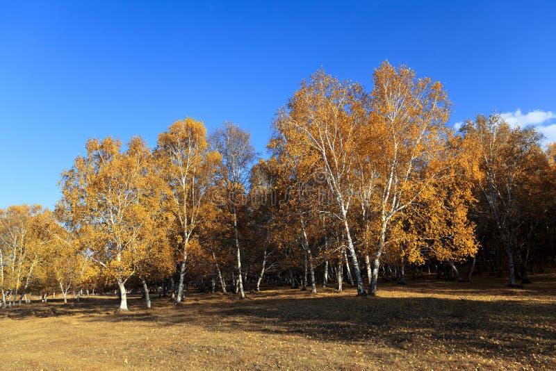δάσος σημύδων φθινοπώρου στοκ φωτογραφία με δικαίωμα ελεύθερης χρήσης