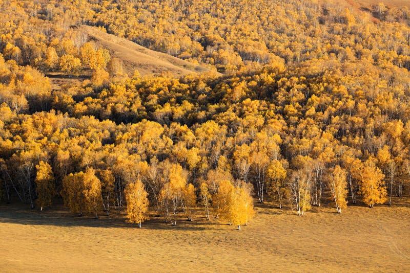 δάσος σημύδων φθινοπώρου στοκ εικόνες