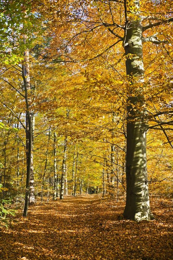Download Δάσος στα όμορφα χρώματα φθινοπώρου μια ηλιόλουστη ημέρα Στοκ Εικόνα - εικόνα από χρυσός, χρώματα: 62716739