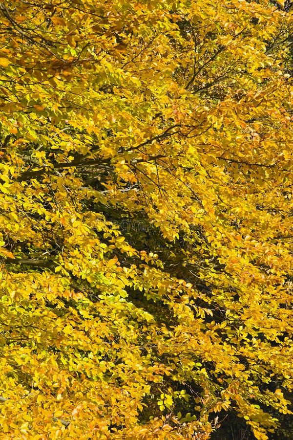 Download Δάσος στα όμορφα χρώματα φθινοπώρου μια ηλιόλουστη ημέρα Στοκ Εικόνα - εικόνα από χρυσός, φύση: 62717891