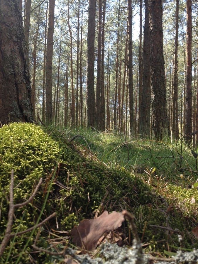 Δάσος στον οβελό Curonian περιοχών Kaliningrad στοκ φωτογραφία
