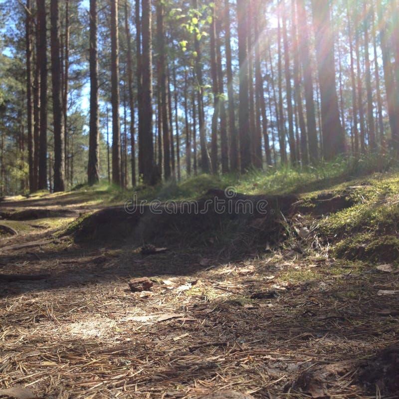 Δάσος στον οβελό Curonian περιοχών Kaliningrad στοκ εικόνες