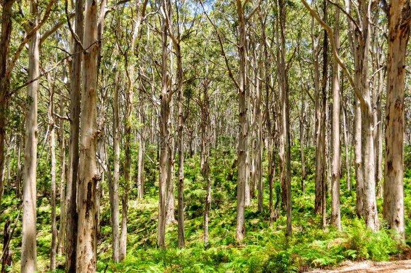 Δάσος της Karri Boranup - περιοχή ποταμών της Margaret στοκ εικόνες