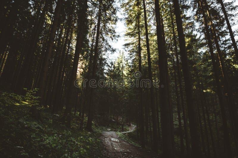 Δάσος της Misty και πολλά κάθετα δέντρα στο φως βραδιού στοκ φωτογραφίες