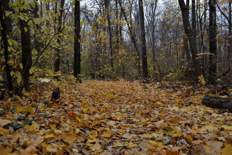Δάσος φθινοπώρου με το δρόμο των πεσμένων φύλλων Ημέρα Οκτωβρίου Φύση στην εποχή πτώσης στοκ φωτογραφία