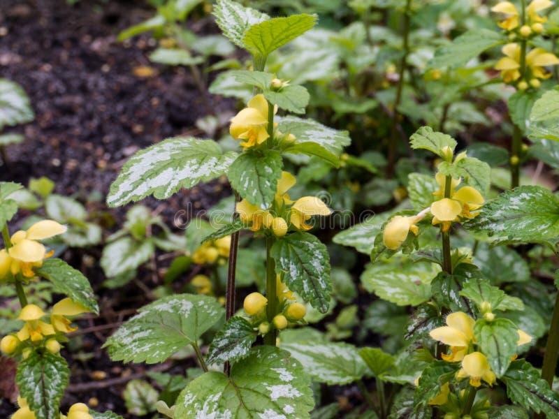 Δάσος φυτών Lamium galeobdolon ανθίζοντας την άνοιξη στοκ φωτογραφία με δικαίωμα ελεύθερης χρήσης