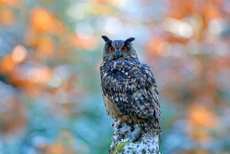 Δάσος χειμώνα και φθινοπώρου με το όμορφο πουλί Ευρασιατικός μπούφος, Bubo Bubo, που κάθεται στο κολόβωμα δέντρων, κινηματογράφησ στοκ φωτογραφία με δικαίωμα ελεύθερης χρήσης