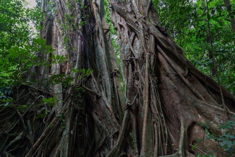Δάσος Daintree στο φαράγγι Mossman στοκ φωτογραφία με δικαίωμα ελεύθερης χρήσης