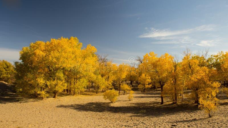 Δάσος euphratica Populus στο επιδόρπιο στοκ φωτογραφία