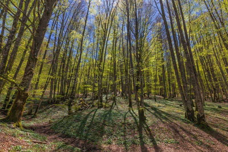 Δάσος Irati σε μια ηλιόλουστη ημέρα άνοιξη στοκ φωτογραφία με δικαίωμα ελεύθερης χρήσης