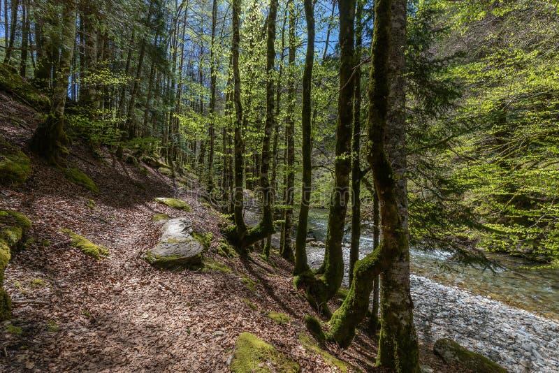 Δάσος Irati σε μια ηλιόλουστη ημέρα άνοιξη στοκ εικόνες