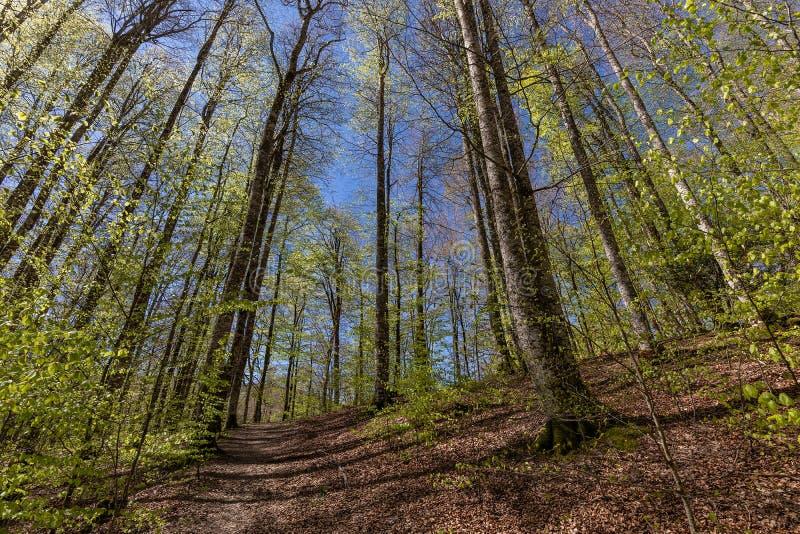 Δάσος Irati σε μια ηλιόλουστη ημέρα άνοιξη στοκ εικόνα