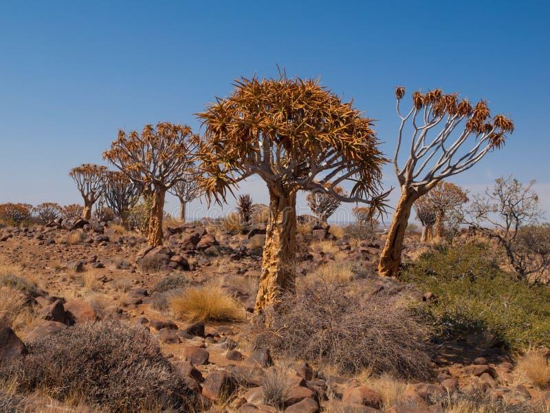 Δάσος Kokerboom με aloe (ρίγος) τα δέντρα στοκ φωτογραφία