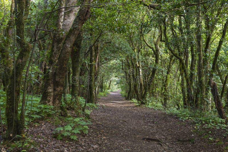 Δάσος Laural Tenerife, Ισπανία στοκ φωτογραφία με δικαίωμα ελεύθερης χρήσης