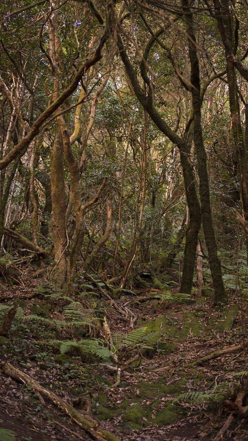 Δάσος Laurisilva ή δαφνών των βουνών Anaga, Tenerife, Κανάρια νησιά στοκ εικόνες