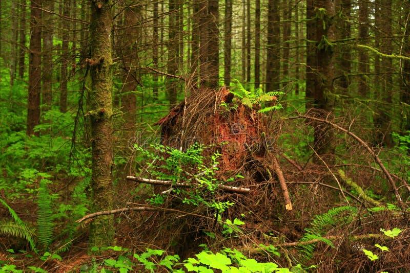 Δάσος Pacific Northwest και δεύτερα δέντρα κωνοφόρων αύξησης στοκ φωτογραφίες με δικαίωμα ελεύθερης χρήσης