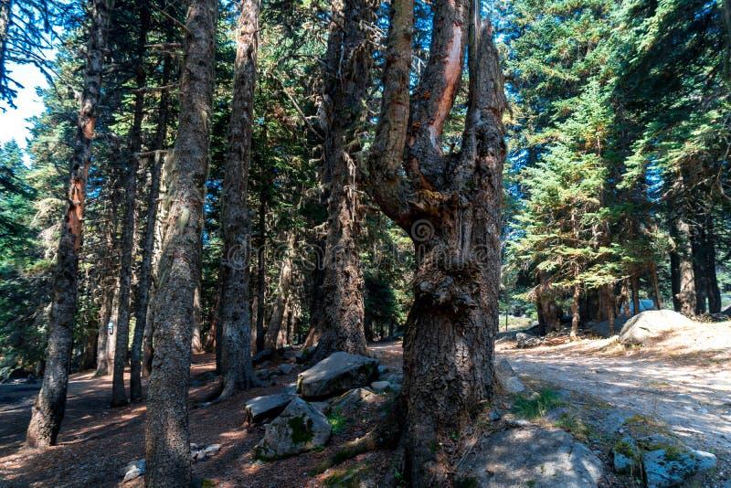 Δάσος Pinetree στο εθνικό πάρκο Uludag στοκ φωτογραφία με δικαίωμα ελεύθερης χρήσης
