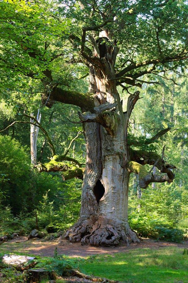 Δάσος sababurg-XXIV της Virgin στοκ εικόνα με δικαίωμα ελεύθερης χρήσης