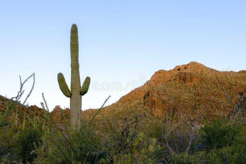 Δάσος Saguaro στοκ εικόνες