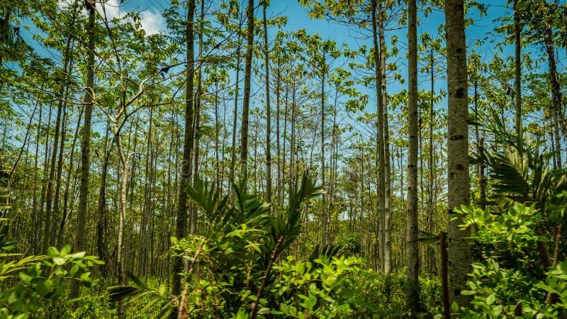 Δάσος Sodong στην πλήρη δόξα του σε Sukabumi, Ινδονησία στοκ εικόνες