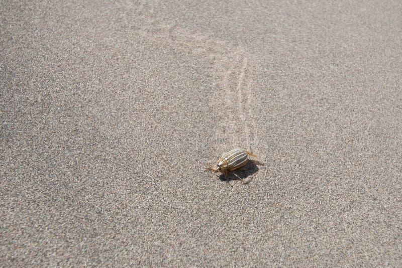 Δέκα-ευθυγραμμισμένος κάνθαρος Ιουνίου στην άμμο στοκ φωτογραφίες