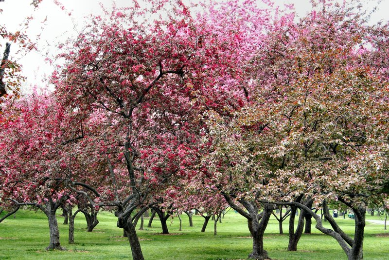 δέντρα άνθισης στοκ φωτογραφία με δικαίωμα ελεύθερης χρήσης
