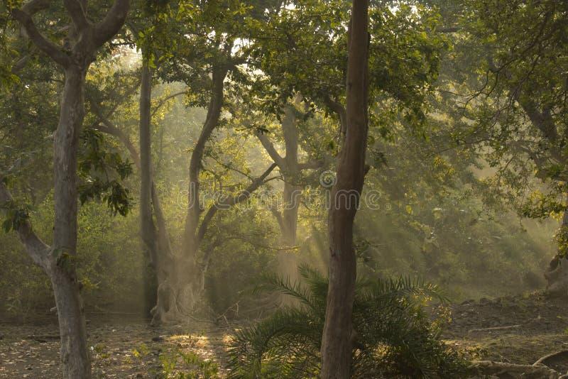 Δέντρα, ακτίνες ήλιων δασών και Devine στοκ φωτογραφία με δικαίωμα ελεύθερης χρήσης
