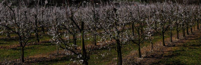 Δέντρα βερικοκιών κατά τη διάρκεια του χρόνου άνοιξη σε Wachau, Αυστρία στοκ φωτογραφία με δικαίωμα ελεύθερης χρήσης