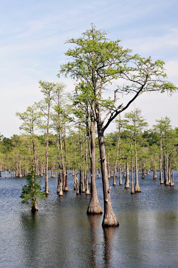 δέντρα ελών κυπαρισσιών στοκ εικόνες με δικαίωμα ελεύθερης χρήσης