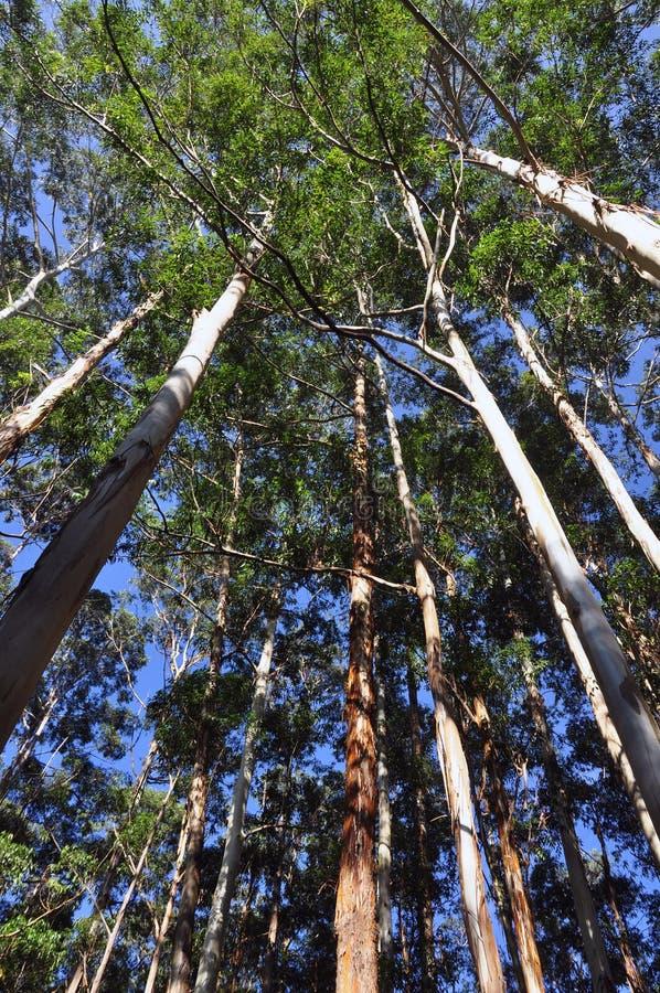 δέντρα ευκαλύπτων στοκ φωτογραφία