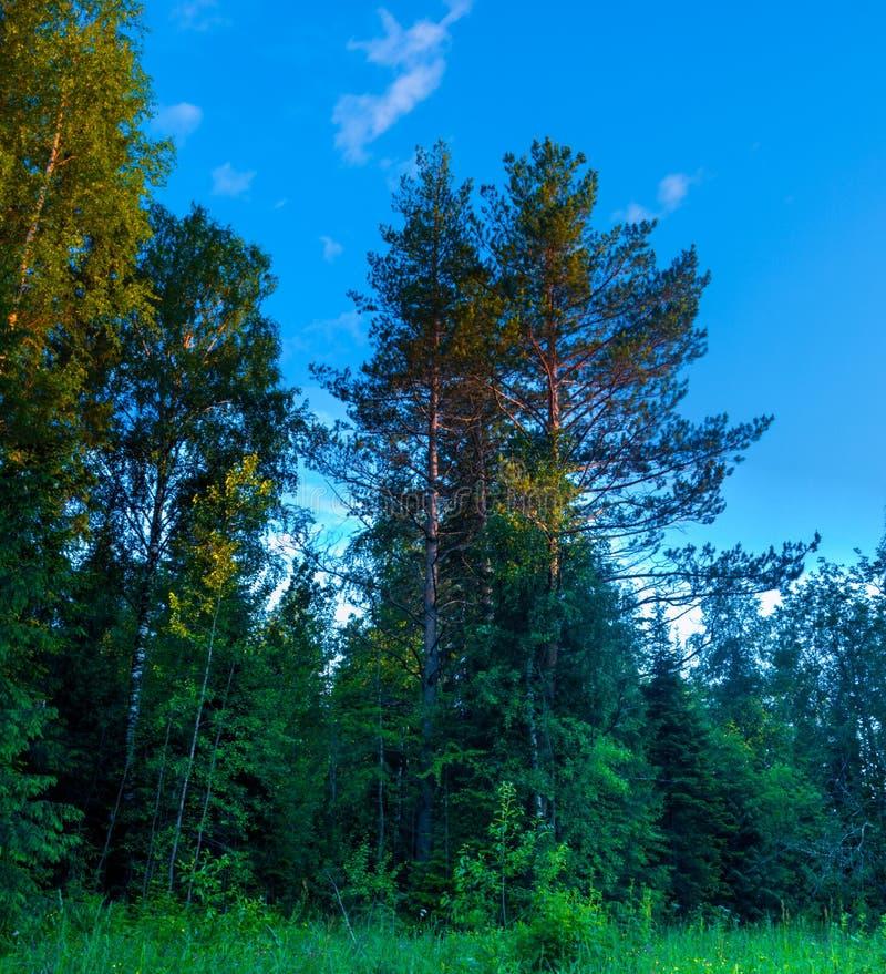 Δέντρα θερινών δασικά πεύκων εποχής στοκ εικόνα με δικαίωμα ελεύθερης χρήσης