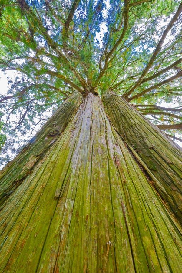 Δέντρα κέδρων στοκ φωτογραφία