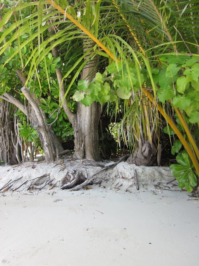 Δέντρα και άσπρο ssand στοκ φωτογραφίες