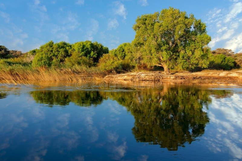 Δέντρα και αντανάκλαση - ποταμός Ζαμβέζη στοκ φωτογραφίες