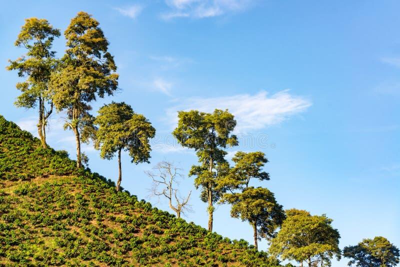 Δέντρα και εγκαταστάσεις καφέ στοκ εικόνες