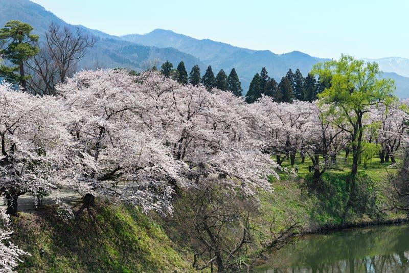 Δέντρα κεράσι-ανθών στο πάρκο κάστρων Tsuruga στοκ εικόνα