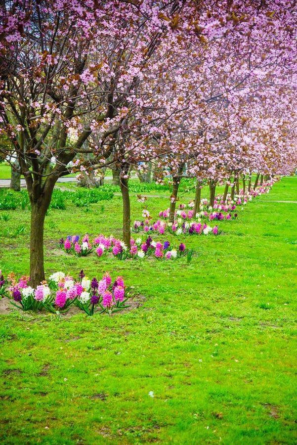 Δέντρα κερασιών σε μια σειρά Άνθος άνοιξη κήπων στοκ εικόνα με δικαίωμα ελεύθερης χρήσης