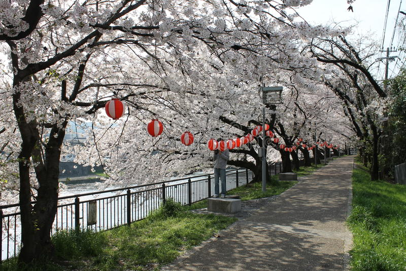Δέντρα κερασιών του Κιότο στοκ εικόνα με δικαίωμα ελεύθερης χρήσης