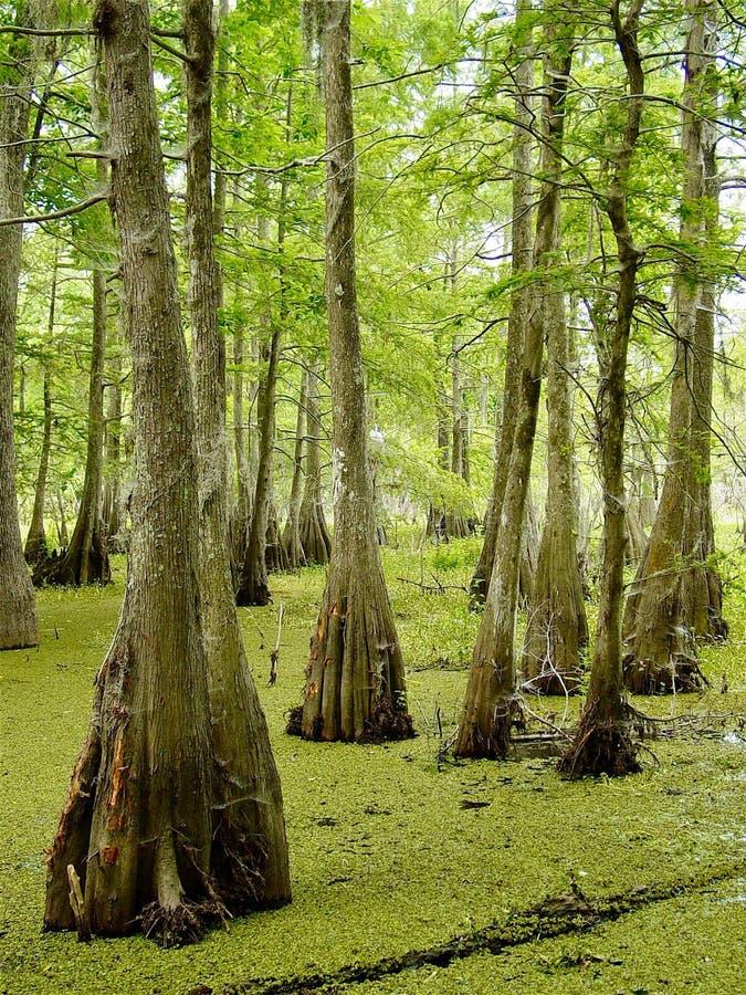 Δέντρα κυπαρισσιών στη Λουιζιάνα Bayou στοκ φωτογραφία