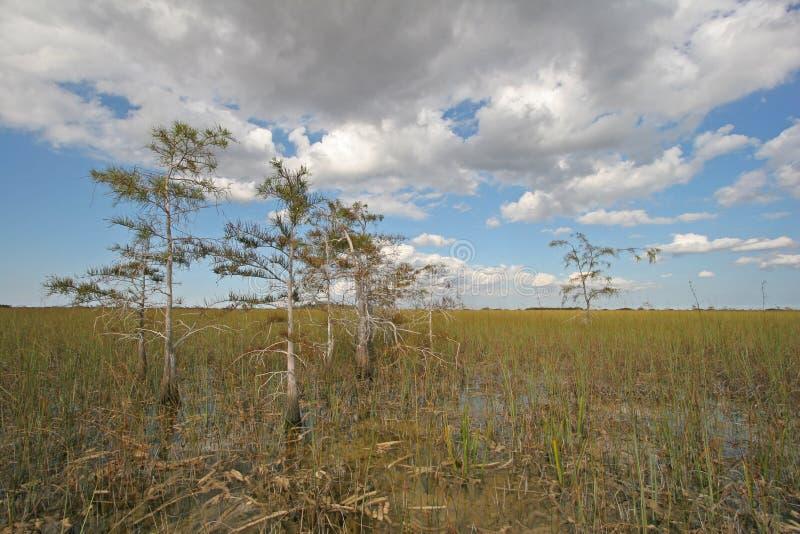 Δέντρα κυπαρισσιών του εθνικού πάρκου Everglades στοκ εικόνες