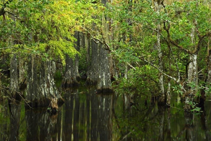 δέντρα κυπαρισσιών στοκ φωτογραφίες με δικαίωμα ελεύθερης χρήσης