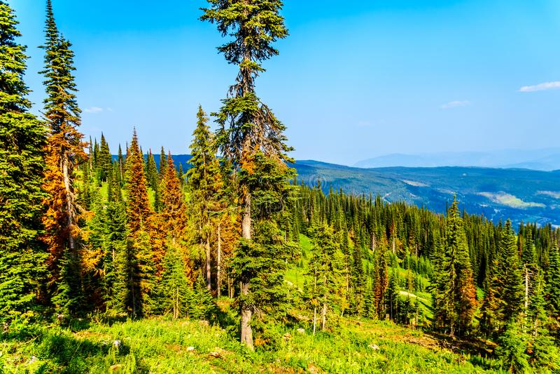 Δέντρα κόκκινων, πεύκων θανάτου λόγω των επιθέσεων κανθάρων πεύκων στις αιχμές ήλιων Π.Χ. στον Καναδά στοκ φωτογραφία με δικαίωμα ελεύθερης χρήσης