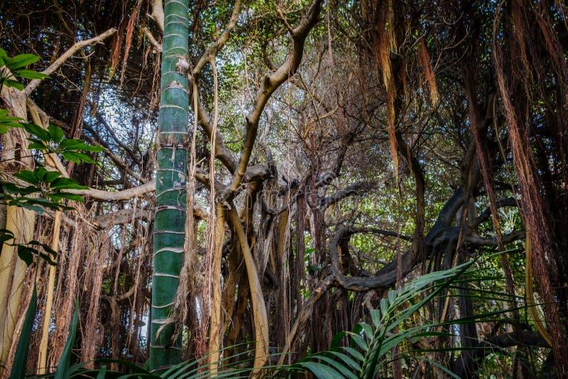 Δέντρα μέσα στο τροπικές δάσος/το τροπικό δάσος/τη ζούγκλα στοκ φωτογραφίες